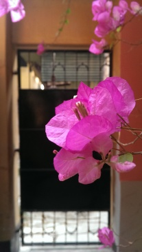 My mother's bougainvilleas behind our gate. Home.